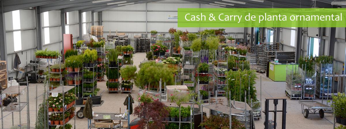 Cash And Carry de planta ornamental