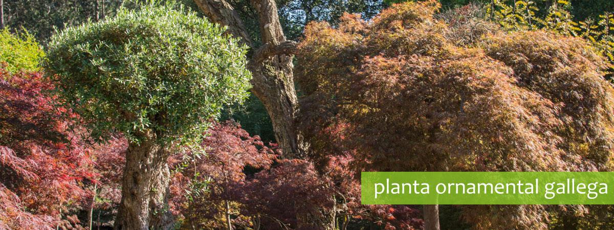planta ornamental de galicia