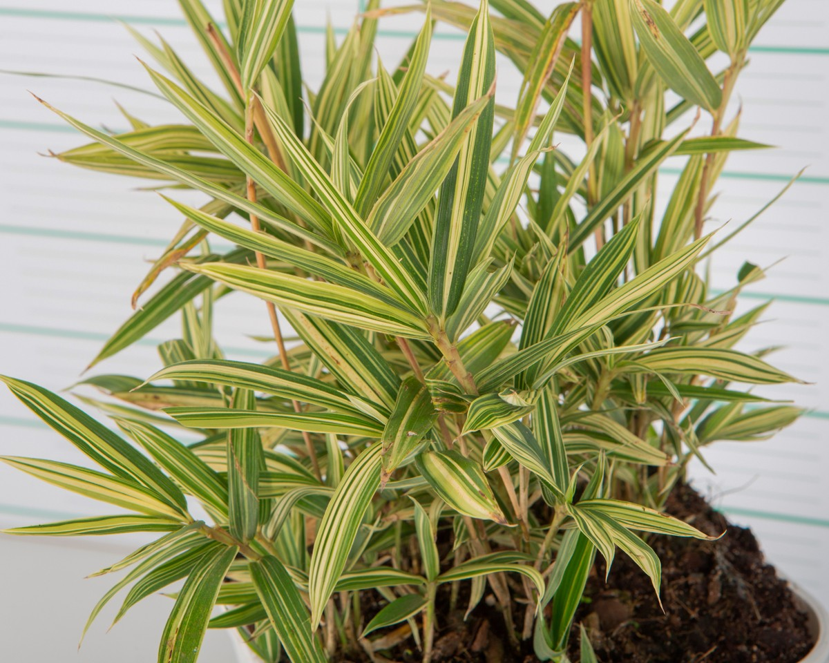 Pleioblastus variegatus 3L R/C Blanca 20/30
