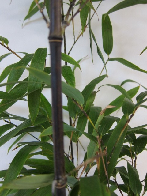 Phyllostachys nigra 50L 10-12 300/350