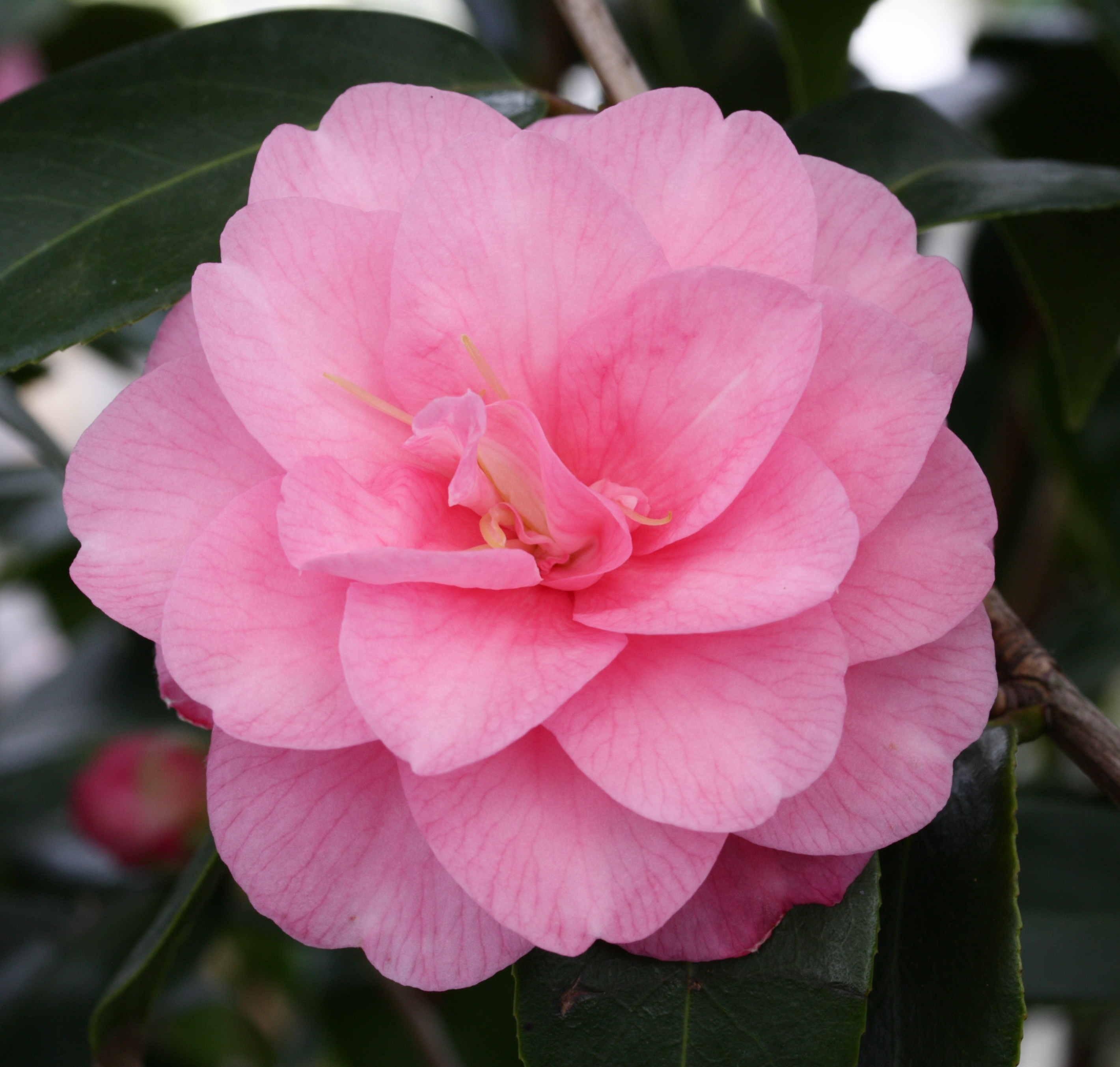 "Camellia ""Spring Festival""  15L Deco 80/90 serpiente"