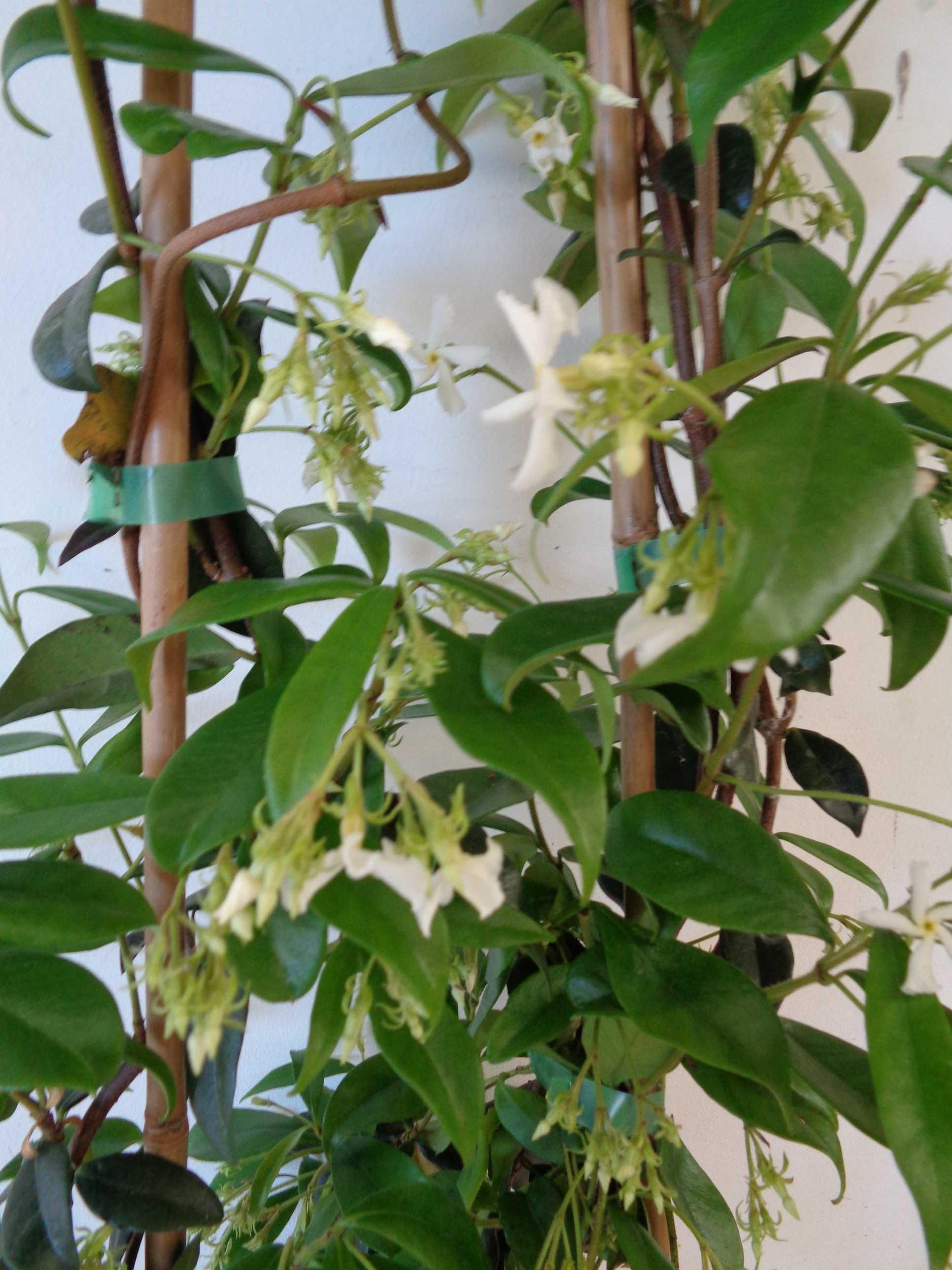 Trachelospermum jasminoides 2L Alto Tutor 75