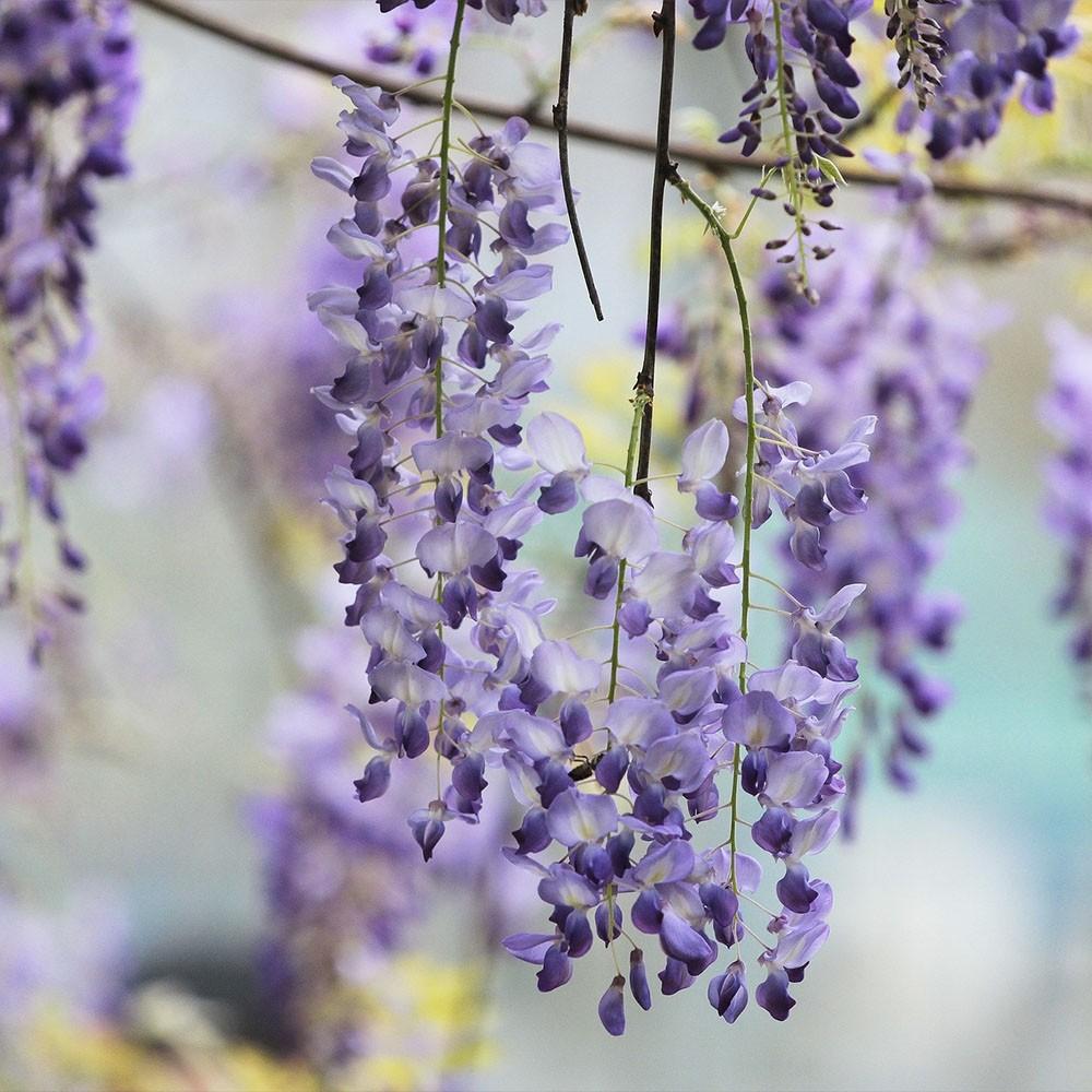 """Wisteria floribunda """"Violacea"""" 5.5L alto 1 Tutor 150 120"""