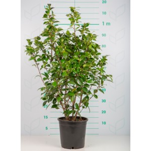 Camellia 6.5L 15+ 70/90