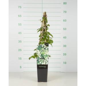 Hydrangea anomala subsp. petiolaris 2L Alto 3 Tutores 40