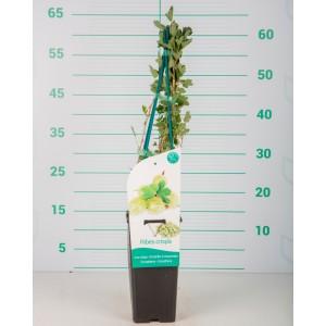 "Ribes crispa ""Captivator"" 2L Alto 4 Tutores 60  (Uva-crispa roja)"