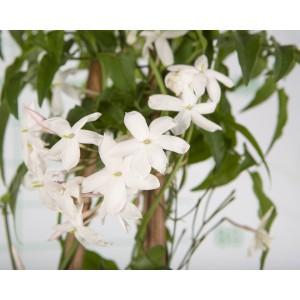 Jasminum polyanthum 4L 3 Tutores 120