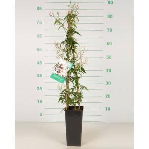 Jasminum polyanthum 2L Alto 3 Tutores 60
