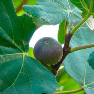 Ficus carica 160L 225/250