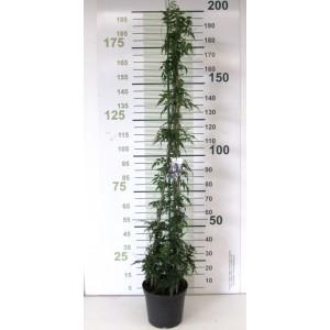 Jasminum polyanthum 10L 3 Tutores 180