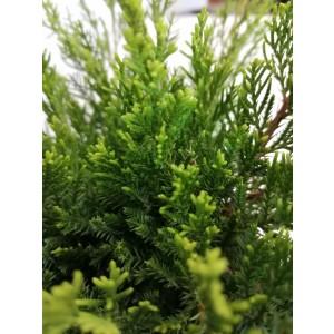 """Juniperus x media """"Mint Julep"""" 90L 140 Bonsai"""