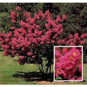 Lagerstroemia indica 230L Ht 180/190 340/400 Ø34-40