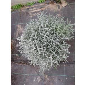 "Lavandula angustifolia ""Alba"" 10L 20/30"