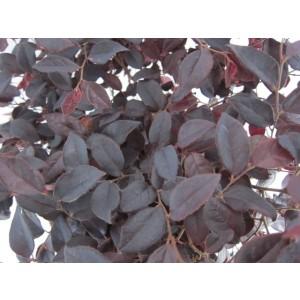 "Loropetalum chinensis ""Black Pearl"" ® 50L Espaldera 110/160"