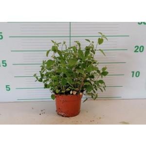 Origanum vulgare M11 10/15
