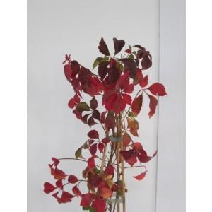Parthenocissus quinquefolia 2L Alto 3 Tutores 60 50