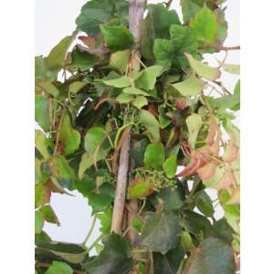 """Parthenocissus tricuspidata 2L  3 Tutores 60  50  """"Veitchii"""""""