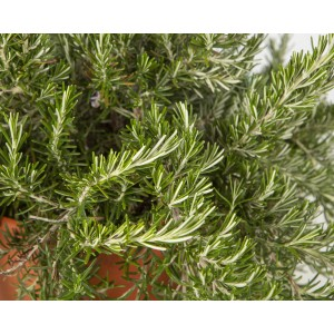 """Rosmarinus officinalis """"Prostratus"""" M11"""