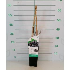 """Ribes nigrum """"Titania"""" 2L Alto 4 Tutores 60 (grosella negra)"""