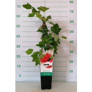 "Ribes rubrum ""Jonkheer van Tets"" 2L Alto 4 Tutores 60  (Grosella Roja)"