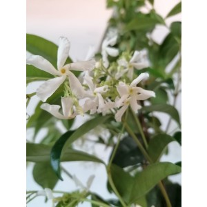 Trachelospermum jasminoides 5L 1 Tutores 120