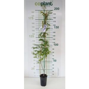 """Wisteria floribunda """"Longissima Alba"""" 5.5L alto 1 Tutor 150 120"""