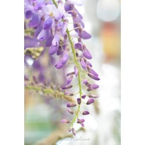 Wisteria sinensis 18L Espaldera 100